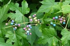 Porcelain-berry-plant