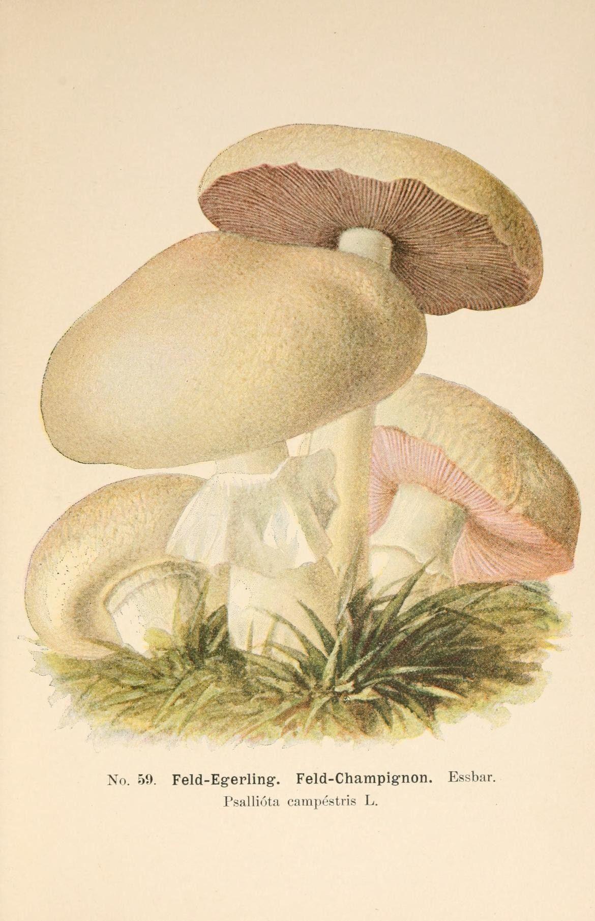 Illustration-of-Portobello-mushroom