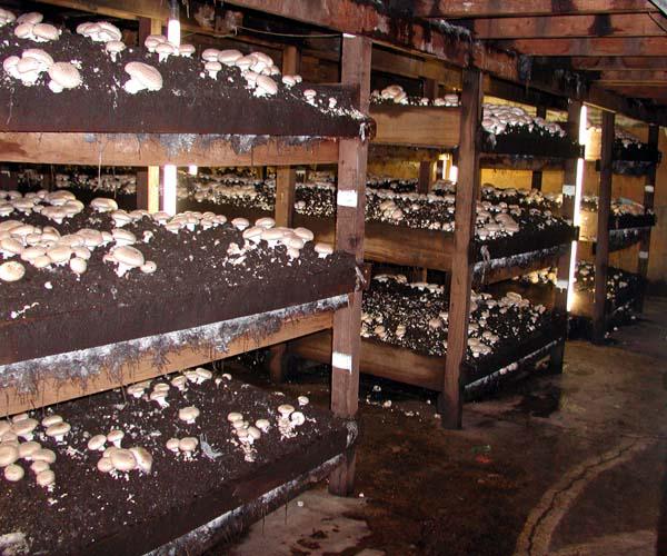 Portobello-mushroom-farm