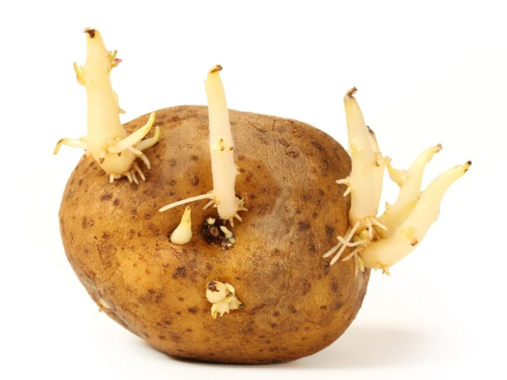 Potato-sprouts
