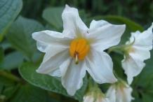 Close-up-flower-of-Potato