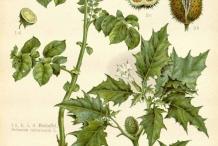 Plant-illustration-of-Potato