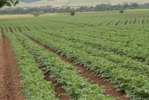 Potato-farm