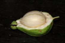 Half-cut-fruit-of-Powder-Puff-Tree