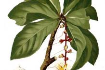 Plant-Illustration-of-Powder-Puff-Tree