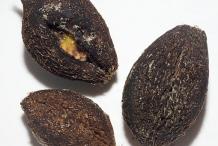 Seeds-of-Powder-Puff-Tree