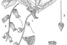 Sketch-of-Powder-Puff-Tree