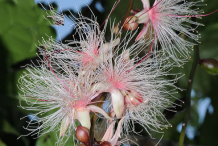 Flower-of-Powder-Puff-Tree