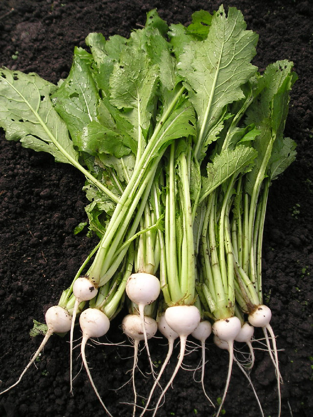 Root-of-Prairie-turnips