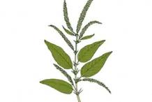 Plant-Illustration-of-Prickly-amaranth
