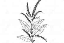 Sketch-of-Prickly-Amaranth