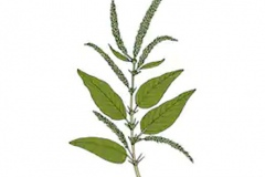 Plant-Illustration-of-Prickly-amaranth
