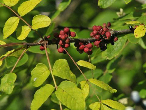 Prickly-Ash-fruit-on-the-plant