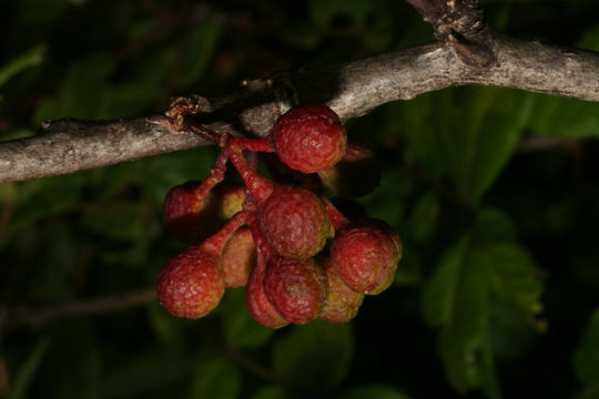 Prickly-Ash-fruit