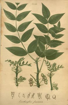 Prickly-Ash-plant-Illustration