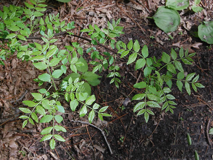 Small-Prickly-Ash-plant