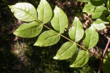 Leaves-of-Prickly-Ash-plant