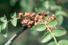 Ripe-fruit-on-the-plant