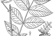 Sketch-of-Prickly-Ash-plant