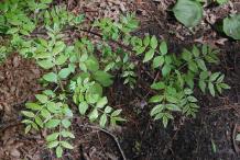 Small-Prickly-Ash-plant