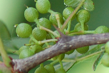 Unripe-fruit-of-Prickly-Ash