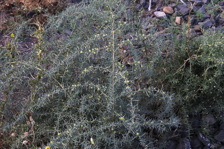 Prickly-Asparagus-plant-growing-wild