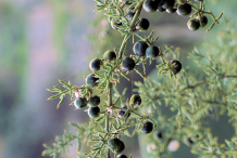 Mature-fruits-of-Prickly-Asparagus