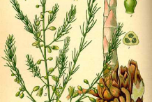 Plant-Illustration-of-Prickly-Asparagus