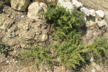 Prickly-Asparagus-Plant