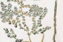Sketch-of-Prickly-Asparagus