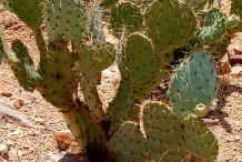 Prickly-pear-plant