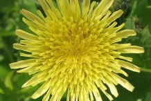 Closer-view-of-flower-of-Prickly-sow-thistle