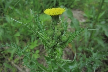 Flower-and-flowerbuds-of-Prickly-sow-thistle