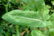 Leaves-of-Prickly-sow-thistle