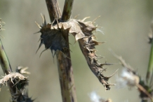 Dried-leaves-of-Prickly-sow-thistle