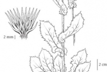 Plant-Illustration-of-Prickly-sow-thistle