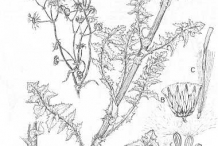 Sketch-of-Prickly-sow-thistle