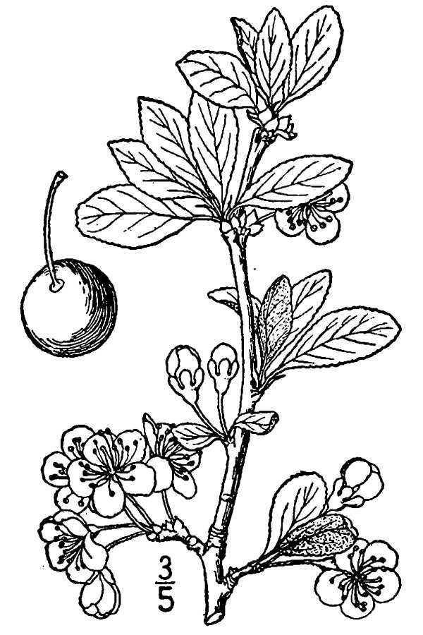 Prune-drawing