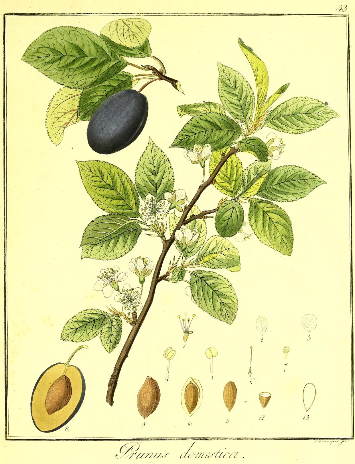 Prune-illustration
