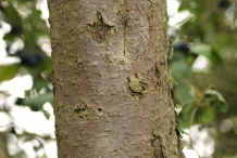Prune-bark