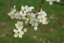 Prune-flowers