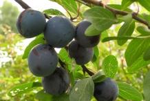 Prune-fruit-undried