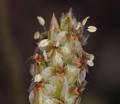 Closer-view-of-Psyllium--flower