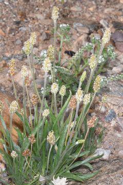 Psyllium-Plant