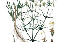 Psyllium-plant-Illustration