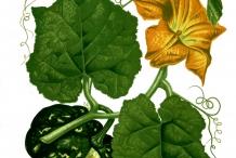 Plant-illustration-of-Pumpkin
