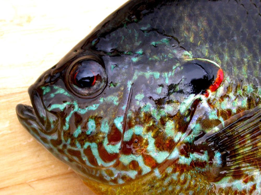 Head-of-Pumpkinseed-sunfish