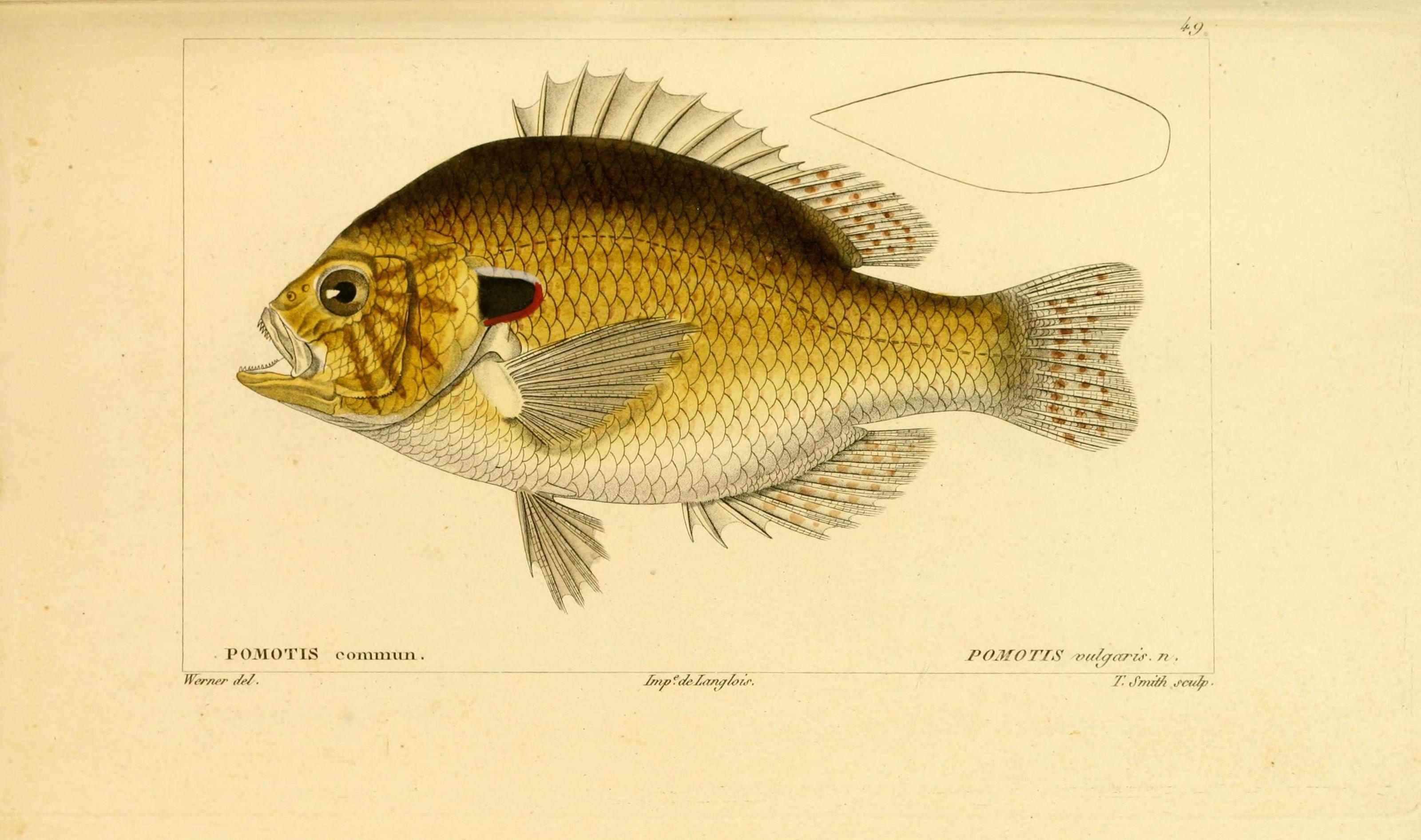 Illustration-of-Pumpkinseed-sunfish
