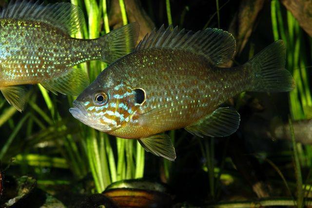 Pumpkinseed-sunfish-1