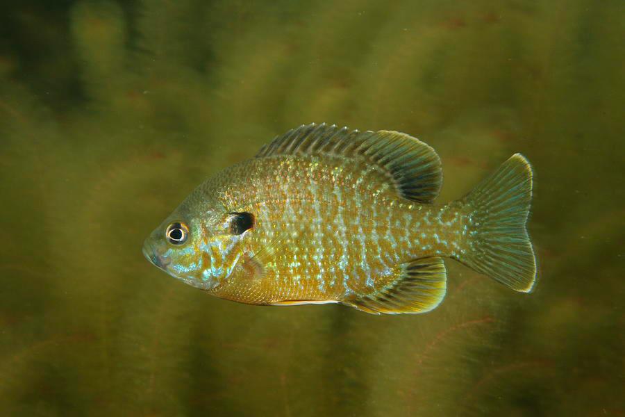 Pumpkinseed-sunfish-2